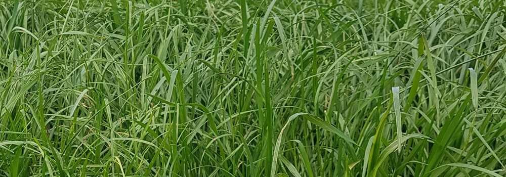 how to get rid of perennial ryegrass